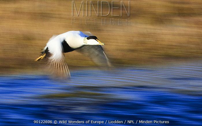 Eider duck (Somateria mollissima) in flight, Spitsbergen, Svalbard, Norway, June 2009  -  WWE/ Liodden/ npl