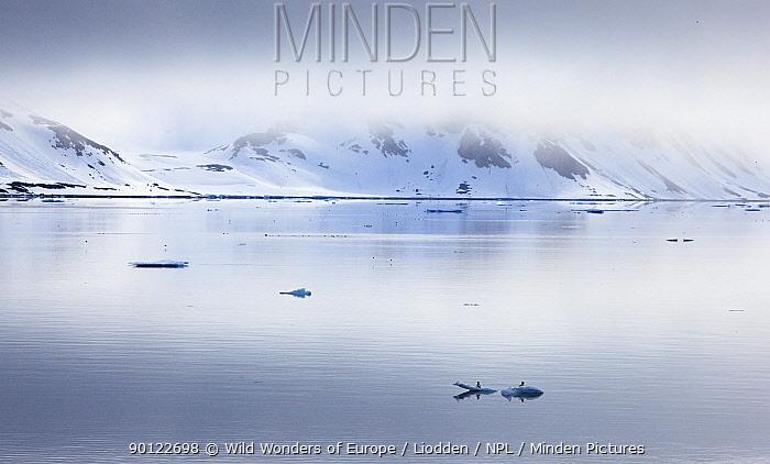 Two Brunnich's guillemots (Uria lomvia) on ice in coastal landscape, Raudfjorden, Spitsbergen, Svalbard, Norway, June 2009  -  WWE/ Liodden/ npl