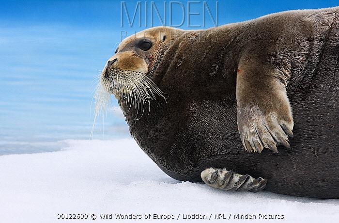 Bearded seal (Erignathus barbatus) lying on ice, Raudfjorden, Spitsbergen, Svalbard, Norway, June 2009  -  WWE/ Liodden/ npl