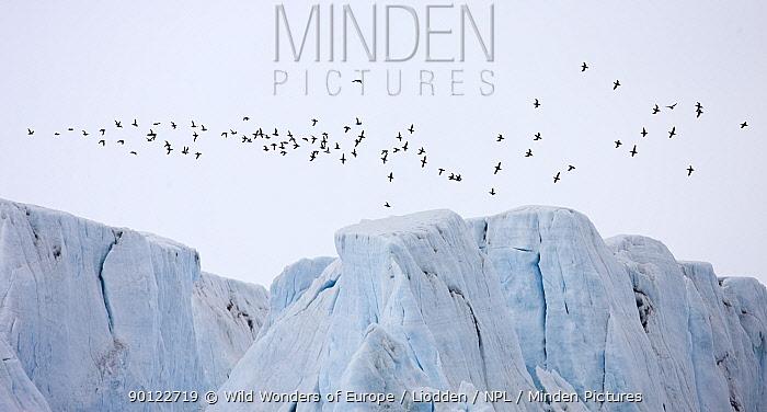 Brunnich's guillemot (Uria lomvia) flock flying over a glacier, Spitsbergen, Svalbard, Norway, June 2009  -  WWE/ Liodden/ npl