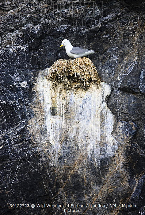 Kittiwake (Rissa tridactyla) on nest on cliff, Kongsfjorden, Spitsbergen, Svalbard, Norway, June 2009  -  WWE/ Liodden/ npl