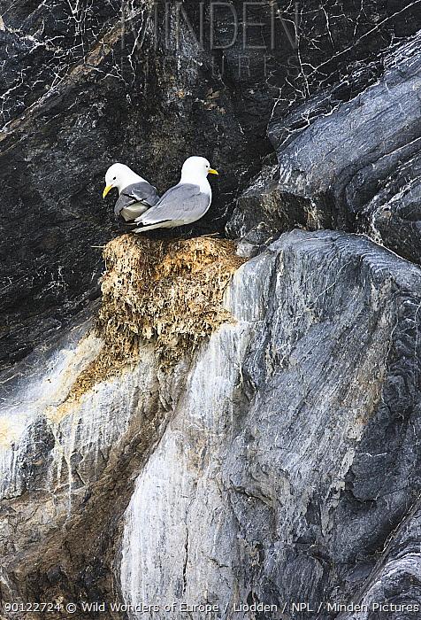 Kittiwake (Rissa tridactyla) pair at nest on cliff, Kongsfjorden, Spitsbergen, Svalbard, Norway, June 2009  -  WWE/ Liodden/ npl