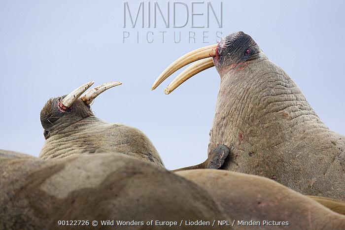 Two Walruses (Odobenus rosmarus) fighting, Richardlagunen, Forlandet National Park, Prins Karls Forland, Svalbard, Norway, June 2009  -  WWE/ Liodden/ npl