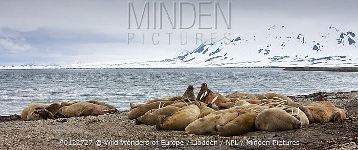 Walrus (Odobenus rosmarus) colony, Richardlagunen, Forlandet National Park, Prins Karls Forland, Svalbard, Norway, June 2009  -  WWE/ Liodden/ npl