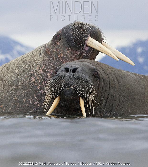 Walrus (Odobenus rosmarus) pair in shallow water, Richardlagunen, Forlandet National Park, Prins Karls Forland, Svalbard, Norway, June 2009  -  WWE/ Liodden/ npl