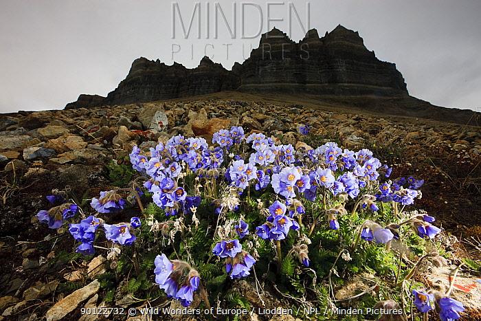 Boreal jacobs ladder (Polemonium boreale) flowers, Spitsbergen, Svalbard, Norway, June 2009  -  WWE/ Liodden/ npl