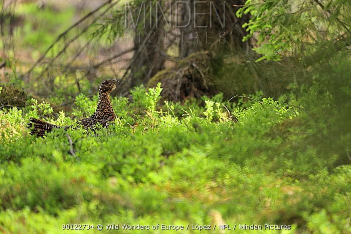 Female Capercaillie (Tetrao urogallus) in undergrowth, Bog forest, Latvia, June 2009  -  WWE/ Lopez/ npl