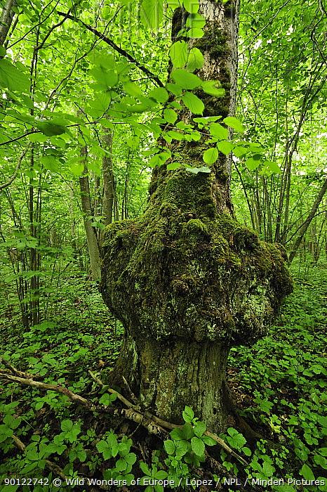 Tree trunk with a growth, Ukru garsa forest, Natura side, Latvia, June 2009  -  WWE/ Lopez/ npl