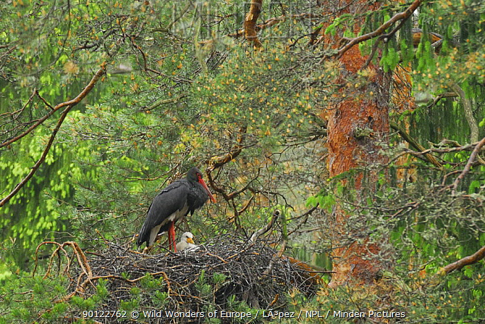 Black stork (Ciconia nigra) on nest with chick, Latvia, June 2009 NOT AVAILABLE FOR GREETING CARDS OR CALENDARS WWE OUTDOOR EXHIBITION  -  WWE/ Lopez/ npl