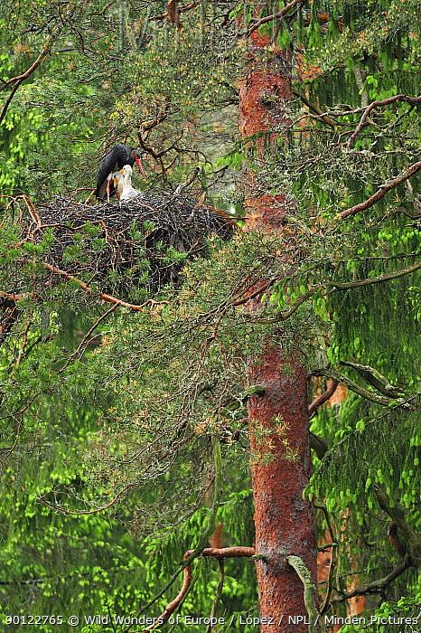 Black stork (Ciconia nigra) on nest with two chicks, Latvia, June 2009  -  WWE/ Lopez/ npl