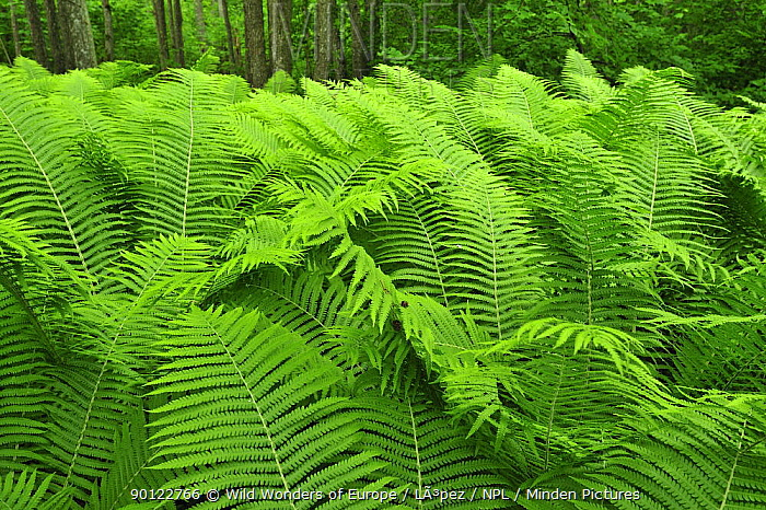 Ferns, Moricsala Strict Nature Reserve, Moricsala Island, Lake Usma, Latvia, June 2009  -  WWE/ Lopez/ npl
