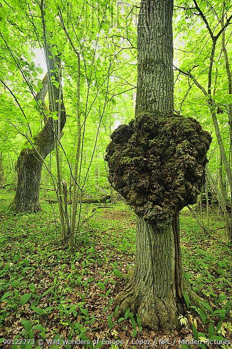 Growth on a tree trunk, Moricsala Strict Nature Reserve, Moricsala Island, Lake Usma, Latvia, June 2009  -  WWE/ Lopez/ npl