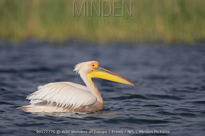 Eastern white pelican (Pelecanus onolocratus) Danube Delta, Romania, May 2009  -  WWE/ Presti/ npl