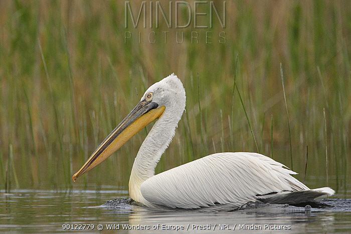 Dalmatian pelican (Pelecanus crispus) Danube Delta, Romania, May 2009  -  WWE/ Presti/ npl