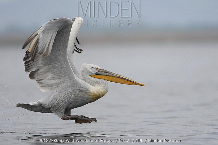 Dalmatian pelican (Pelecanus crispus) landing on water, Danube Delta, Romania, May 2009  -  WWE/ Presti/ npl