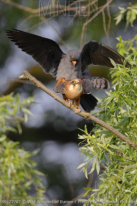 Red footed falcon (Falco vespertinus) pair mating, Danube Delta, Romania, May 2009  -  WWE/ Presti/ npl