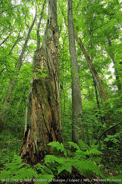 Dead twisting tree trunk, Moricsala Strict Nature Reserve, Moricsala Island, Lake Usma, Latvia, June 2009  -  WWE/ Lopez/ npl