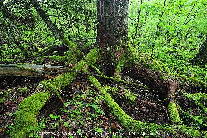 Moss covered roots of a tree, Moricsala Strict Nature Reserve, Moricsala Island, Lake Usma, Latvia, June 2009  -  WWE/ Lopez/ npl