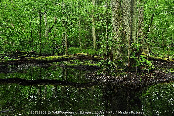 Fallen tree across water, Moricsala Strict Nature Reserve, Moricsala Island, Lake Usma, Latvia, June 2009  -  WWE/ Lopez/ npl