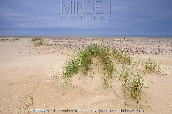 Dunes on the Baltic coast, Latvia, June 2009  -  WWE/ Lopez/ npl