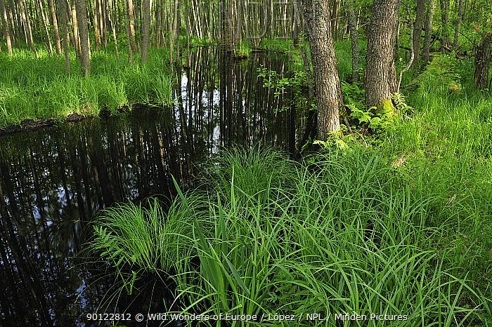 Forest pool, Slitere National Park, Latvia, June 2009  -  WWE/ Lopez/ npl
