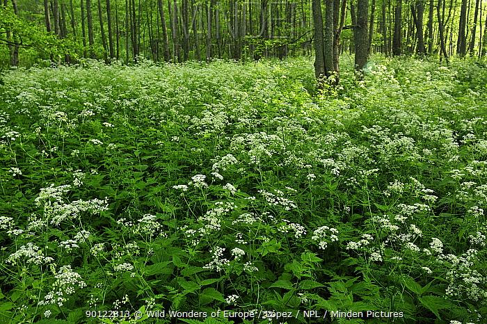 Cow parsley (Anthriscus sylvestris) growing in woodland, Slitere National Park, Latvia, June 2009  -  WWE/ Lopez/ npl