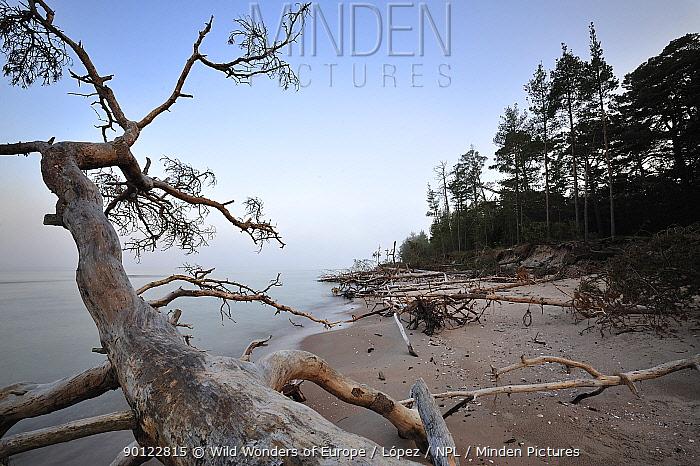Trees washed up on sea shore, Cape Kolka, Slitere National Park, Latvia, June 2009  -  WWE/ Lopez/ npl