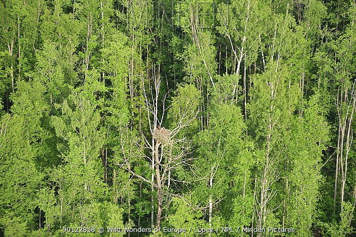 Aerial view of Golden eagle (Aquila chrysaetos) nest in tree, Kemeri National Park, Latvia, June 2009  -  WWE/ Lopez/ npl