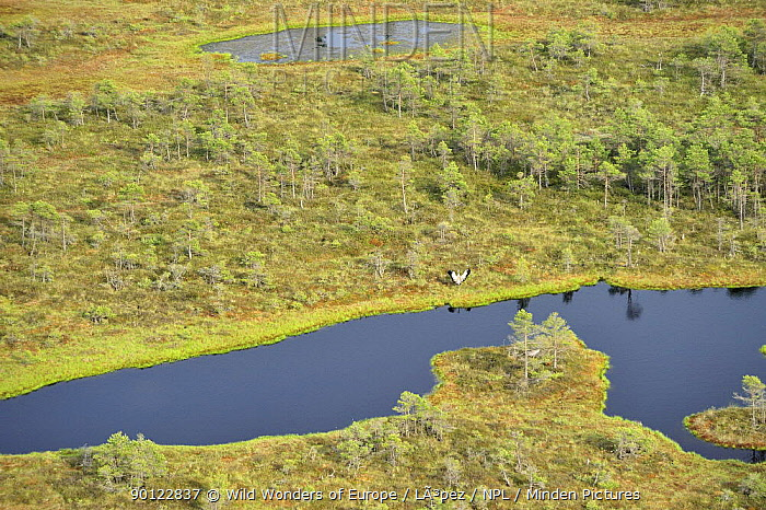 Aerial view of bog with a Common crane (Grus grus) stretching its wings, Kemeri National Park, Bog forest, Latvia, June 2009  -  WWE/ Lopez/ npl