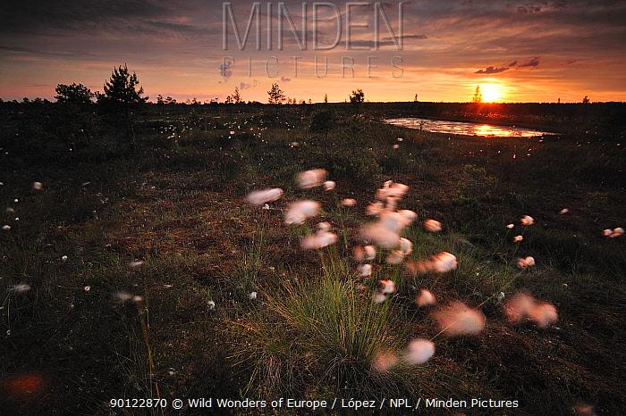 Cotton grass (Eriophorum) growing in bog at sunset, Kemeri National Park, Latvia, June 2009  -  WWE/ Lopez/ npl
