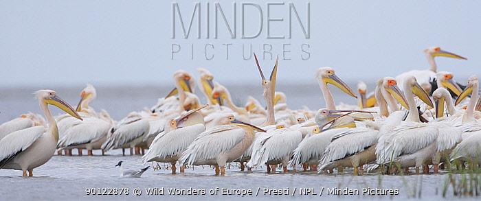 Eastern white pelican (Pelecanus onolocratus) group in the Danube Delta, Romania, May 2009  -  WWE/ Presti/ npl