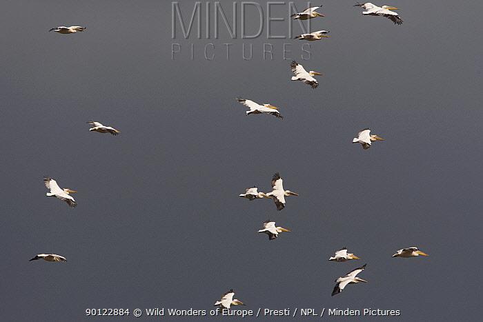 Eastern white pelicans (Pelecanus olocratus) in flight, Danube Delta, Romania, May 2009  -  WWE/ Presti/ npl