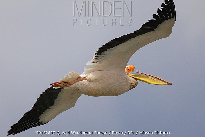 Eastern white pelican (Pelecanus onolocratus) in flight, Danube Delta, Romania, May 2009  -  WWE/ Presti/ npl