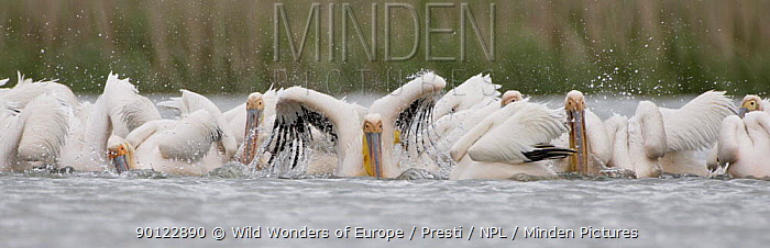 Eastern white pelicans (Pelecanus onocrotalus) bathing, Danube Delta, Romania, May 2009  -  WWE/ Presti/ npl