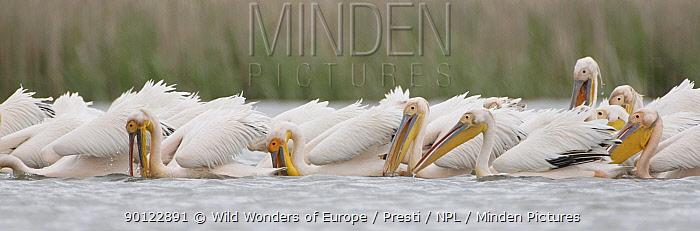 Eastern white pelicans (Pelecanus onocrotalus) feeding, Danube Delta, Romania, May 2009  -  WWE/ Presti/ npl