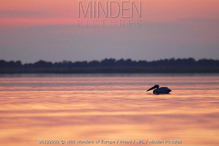 Eastern white pelican (Pelecanus onolocratus) silhouetted at sunset, Danube Delta, Romania, May 2009  -  WWE/ Presti/ npl