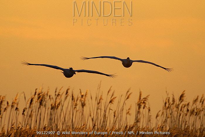 Two Eastern white pelicans (Pelecanus onolocratus) in flight, silhouetted at sunset, Danube Delta, Romania, May 2009  -  WWE/ Presti/ npl