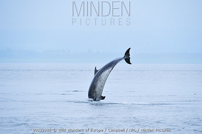 Bottlenosed dolphin (Tursiops truncatus) breaching, Moray Firth, Nr Inverness, Scotland, May 2008  -  WWE/ Campbell/ npl