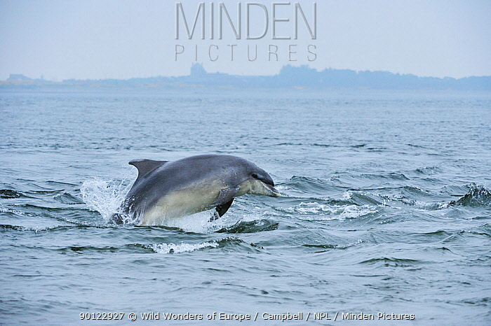Bottlenosed dolphin (Tursiops truncatus) surfacing, Moray Firth, Nr Inverness, Scotland, May 2008, Sequence 1, 5  -  WWE/ Campbell/ npl