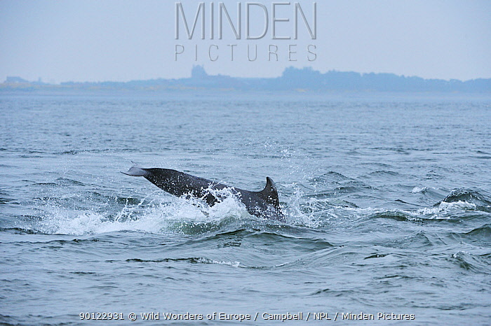 Bottlenosed dolphin (Tursiops truncatus) surfacing, Moray Firth, Nr Inverness, Scotland, May 2008, Sequence 5, 5  -  WWE/ Campbell/ npl