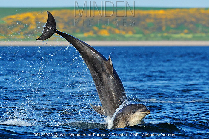 Bottlenosed dolphins (Tursiops truncatus) one jumping the other surfacing, Moray Firth, Nr Inverness, Scotland, May 2008, Sequence 2, 4  -  WWE/ Campbell/ npl