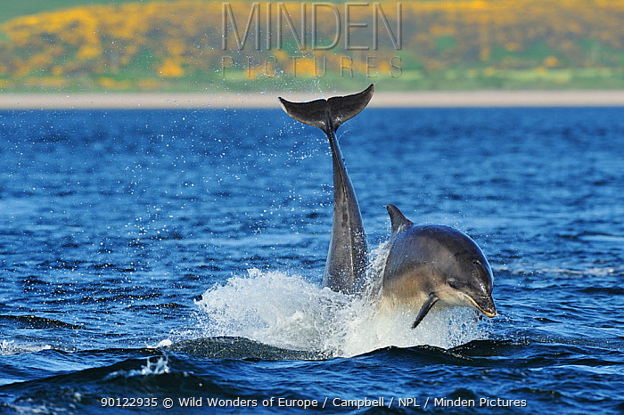 Bottlenosed dolphins (Tursiops truncatus) one jumping the other surfacing, Moray Firth, Nr Inverness, Scotland, May 2008, Sequence 4, 4  -  WWE/ Campbell/ npl