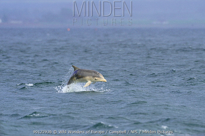 Bottlenosed dolphin (Tursiops truncatus) female with calf surfacing, Moray Firth, Nr Inverness, Scotland, May 2008, Sequence 1, 7  -  WWE/ Campbell/ npl