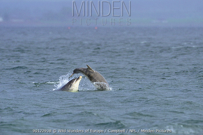 Bottlenosed dolphin (Tursiops truncatus) female with calf surfacing, Moray Firth, Nr Inverness, Scotland, May 2008, Sequence 3, 7  -  WWE/ Campbell/ npl