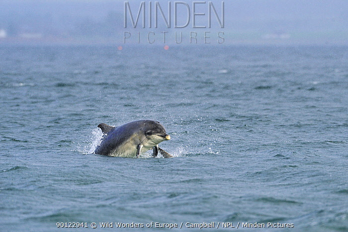 Bottlenosed dolphin (Tursiops truncatus) female with calf surfacing, Moray Firth, Nr Inverness, Scotland, May 2008, Sequence 6, 7  -  WWE/ Campbell/ npl