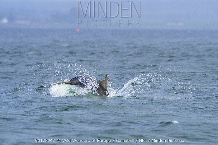 Bottlenosed dolphin (Tursiops truncatus) female with calf surfacing, Moray Firth, Nr Inverness, Scotland, May 2008, Sequence 7, 7  -  WWE/ Campbell/ npl