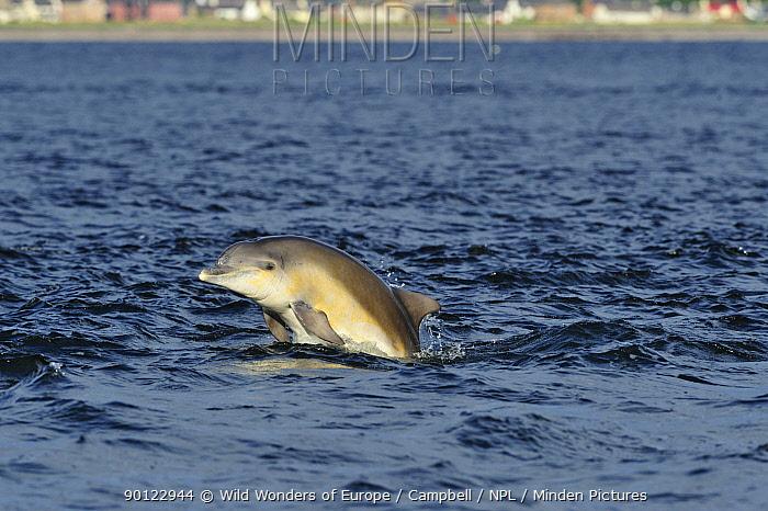 Juvenile Bottlenosed dolphin (Tursiops truncatus) breaching, Moray Firth, Nr Inverness, Scotland, June 2008  -  WWE/ Campbell/ npl
