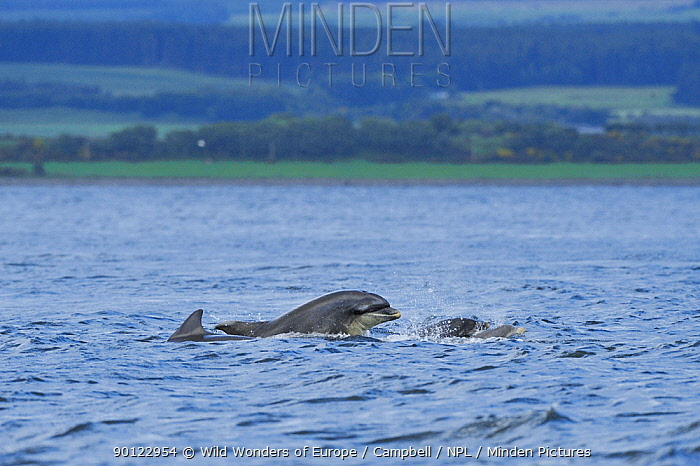 Female Bottlenosed dolphin (Tursiops truncatus) playing with calf, Moray Firth, Nr Inverness, Scotland, June 2008  -  WWE/ Campbell/ npl