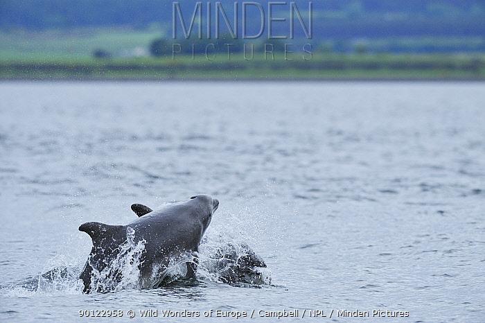 Bottlenosed dolphins (Tursiops truncatus) travelling, Moray Firth, Nr Inverness, Scotland, June 2008  -  WWE/ Campbell/ npl