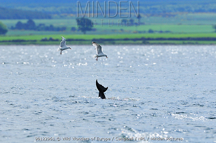Two Herring gulls (Larus argentatus) feeding on scraps of fish after a successful hunt by Bottlenosed dolphins (Tursiops truncatus) tail fluke of one at surface, Moray Firth, Nr Inverness, Scotland, June 2008  -  WWE/ Campbell/ npl